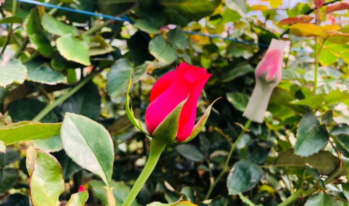 rosas exportacion-san-juan-sacatepequez